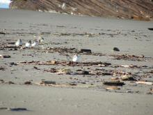 The woody driftline is a favorite place to find insects for these Snowy Plovers and Semipalmated Sandpipers.