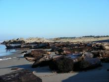 These large logs look like they may have been uncovered from the plowing of the Snowy Plover Habitat Restoration site but they also may have been washed in from winter storms.