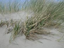 American Beach Grass was also widely planted in the early 1900's.  It is the dominant beach grass specie north of Lincoln City to Astoria.  The American version has wide blades (European beach grass in background)