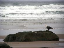 The cormorant was stranded in the surf wash zone, but still alive - the eagle carried it to a rock and ate it.