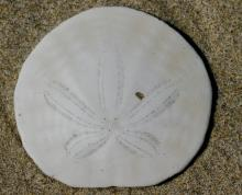Macro shot of test (shell) of recently-deceased excentric sand dollar, Dendraster excentricus, about 3 inches diameter. Sand dollars are Echinoderms, distant relatives of sea stars and urchins.