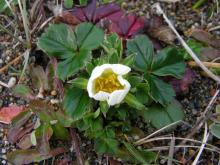 Fragaria chiloensis (Wild Strawberry) is blooming nicely now.  This common plant covers many of the open meadows and headlands of our beaches.