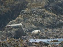 6 wary harbor seals were watching the humans