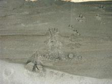 Tracks identified as Red Fox