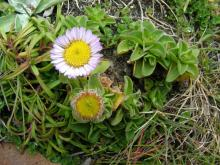 This beautiful small aster (blossom about 1 inch in diameter) covers much of the headlands.