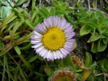 The central disk flowers on this Erigeron glaucus is yellow, but they can be more orange.  The ray flowers can be this common pink to lavendar or almost white.