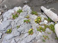 This pretty plant grows right at the edge of the beach and sends it's runners out over rocks.