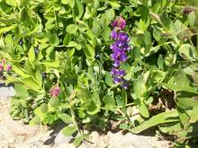 Beach pea in bloom