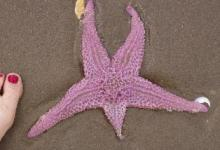 One of a half-dozen sea stars found at low tide (technically on Mile 158)