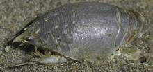 Pacific mole crab - Emerita analoga. Head is to right. Total length about 5 cm.