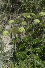 Large Angelica clump at foot of foredune. Angelica is the plant from which the CoastWatch icon (in top-left corner of your window) was derived. Height is about 4 feet.