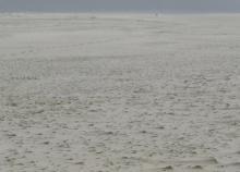 Western Snowy Plovers