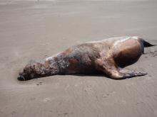 Dead sea lion.