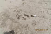 Seal Pup Skeleton ?