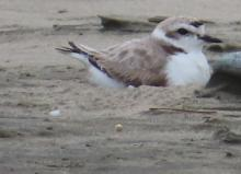 Snowy Plover on Nest