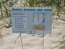 Snowy Plovers are Here!