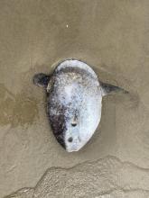 South Beach Oregon Beached Sunfish