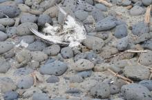 Dead Seagull
