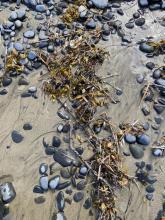Debris line with kelp