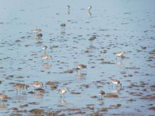 Western Sandpipers, part of larger flock