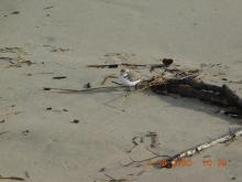Western Snowy Plover, Bayshore Beach