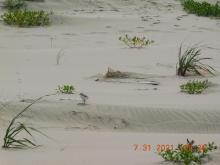 Western Snowy Plover