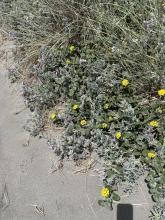 Yellow sand verbena