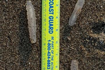 Pyrosomes on the beach near the surf line.
