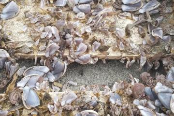 Gooseneck barnacle covered wood pallet