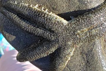 six rayed sea star