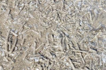 Large concentration of tube worm Casings