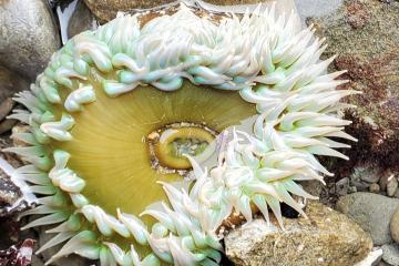 pale anemone