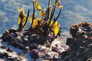 Spring kelp