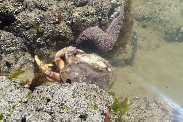 Dungeness crab and ochre sea star