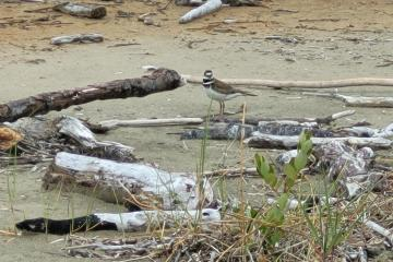 plover in driftwood