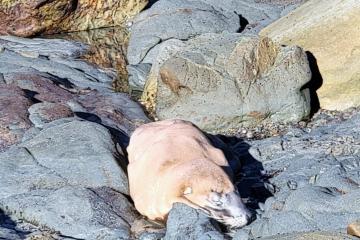 Sick looking California Sea Lion
