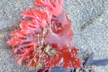 Fall colored kelp?