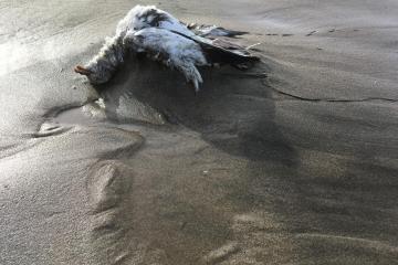 Dead bird 5-seagull.