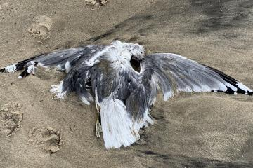 Dead gull