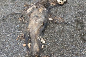 Pinniped carcass