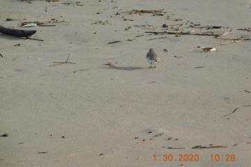 Banded Western Snowy Plover, Bayshore Beach