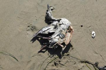 Seabird carcass