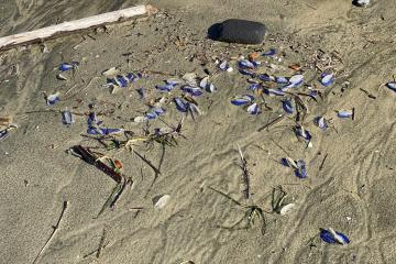 By-The-Wind Sailors washed ashore