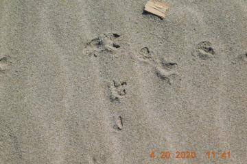 Plover tracks closeup