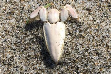 Mole crab body parts