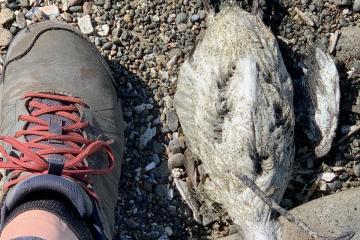 Dead seabird relative size to a size 9.5 shoe
