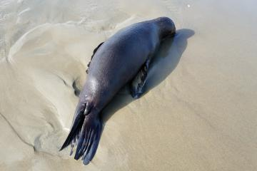 Dead yearling Sea Lion