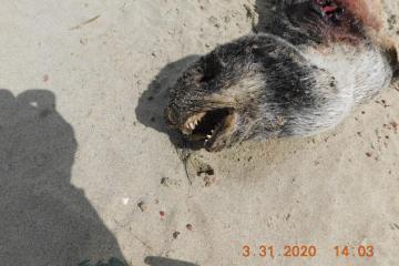 Dead seal pup closeup