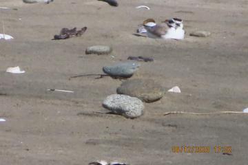 Driftwood Plover on Nest