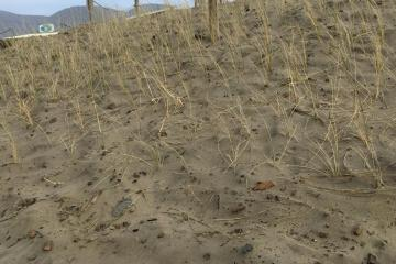 New sea grass planted south of the wayside.
